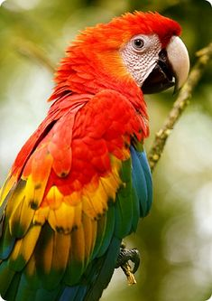 Red-and-green Macaw (Ara chloropterus) Family Psittacidae © Alfredo Salaza Kinds Of Birds, All Birds, Cute Birds, Pretty Birds, Beautiful Birds, Animals Beautiful, Cute Animals, Tropical Animals, Tropical Birds
