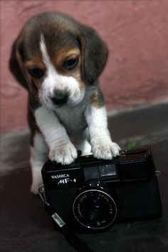 Say cheese! Beagles...I've had two...they are pains...but they get me every time! I mean...look at this puppy!!!