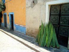Queretaro, Mexico. Pencas de maguey