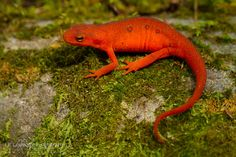 Red Eft stage of the Eastern Newt!