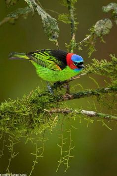 The Red-necked Tanager (Tangara cyanocephala) is a species of bird in the Thraupidae family. It is found in Argentina, Brazil, and Paraguay. Its natural habitats are subtropical or tropical moist lowland forests and heavily degraded former forest.