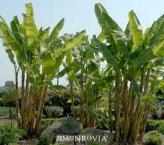 Fiber Banana Zone 5 11 Needs Water Yellow Flowers Be Careful