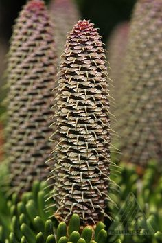 Abies koreana 'Silver Show' - and what a show it is with clusters of beautiful cones covering many branches on this tree. Exotic Flowers, Amazing Flowers, Trees And Shrubs, Trees To Plant, Crismas Tree, Conifer Cone, Abies Koreana, Cone Trees, Cactus Y Suculentas