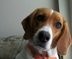 What's up? Beagle