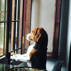 John, the Laboratory Beagle who found a loving home in Bengaluru...