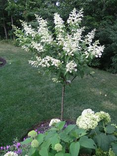 tardiva hydrangea tree | It was in a 5 gallon pot last year when I got it. This is her second ...
