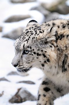 "Snow Leopard - ""Walking..."" by Tambako the Jaguar via Flickr #naturephotography #bigcats #wild"