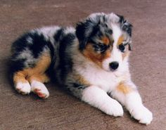 Aussie Fur, there is something about their baby fur, that just makes you want to hold them all day long...