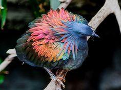 Le pigeon de Nicobar  lespèce vivante la plus proche du défunt dodo  2Tout2Rien