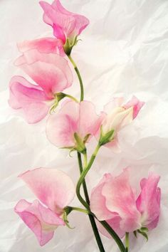 I love this flower. Lathyrus.