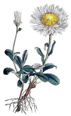 White Aster Vintage Botanical Illustration; birth month flower for September