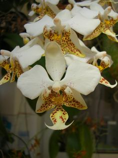 #Orchid - Phalaenopsis stuartiana | by ale13van  http://dennisharper.lnf.com/