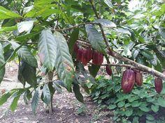 #Kakaobaum mit Bohnen in #Ecuador