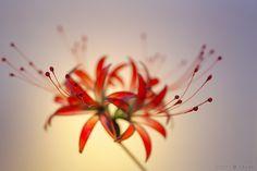 9月第1金曜 彼岸花 簪「紅 -beni- 」出品致しました の画像:榮 - sakae - 簪作家