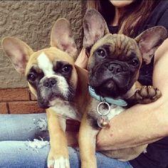 Cuties! French Bulldog Puppies.