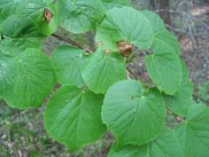 Tilia cordata - metsälehmus Plant Leaves, Lime, Trees, Plants, Vegetable Garden, Limes, Tree Structure, Plant, Wood