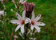 Asphodelus aestivus (Summer Asphodel) is an attractive perennial with gray-green, narrow, sword-like leaves up to 18 inches cm) tall. Old World, Google Images, Green And Grey, Perennials, Planting Flowers, Natural Beauty, Drawings, Floral, Nature