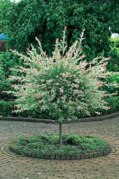 Willow Salix Flamingo or Dappled Willow - growth habits listed on post.[Salix integra 'Flamingo', commonly known as Dappled Willow, Garden Shrubs, Garden Trees, Lawn And Garden, Trees And Shrubs, Flowering Trees, Trees To Plant, Dwarf Trees, Outdoor Plants, Outdoor Gardens