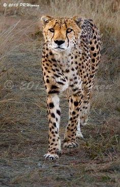 Cheetah by Peter Winnan