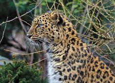 Amur leopard in the rain by Klaus Wiese on 500px