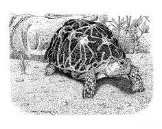 Indický hviezdna korytnačka Paul Kmiotek