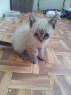 Mascota en adopción en Adoptaloo.com - GALA cruce de siamés 1 mes y medio
