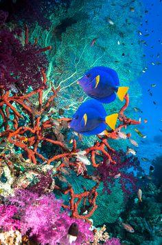 Paisaje arrecife de coral con espigas de cola amarilla, Mar Rojo