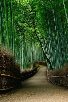 The largest bamboo garden, found in Japan. The largest bamboo garden, found in Japan. The largest bamboo garden, found in Japan. Places Around The World, Oh The Places You'll Go, Places To Visit, Kyoto Japan, Japan Japan, Geisha Japan, Okinawa Japan, Japan Art, Japan Travel