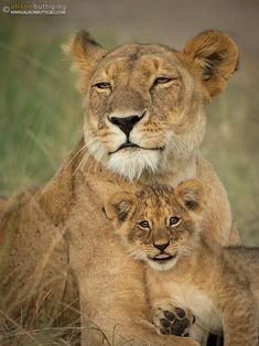 Wave at the camera mom! by Alison Buttigieg - Photo 109318543 / Baby Animals Super Cute, Cute Little Animals, Beautiful Cats, Animals Beautiful, Animals And Pets, Funny Animals, Lioness And Cubs, The Awkward Yeti, Lion Pictures