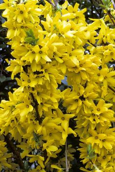 These 20 Flowering Shrubs Will Fill Your Garden With Blooms Forsythie & # Beatrix Ferrand & # 39 ; Perennial Grasses, Ornamental Grasses, Perennials, Planting Succulents, Garden Plants, Planting Flowers, Yellow Flowering Shrub, Flowering Trees, Yellow Flowers