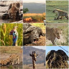 3 lions 2 leopards 2 cape buffaloes 1 giraffe 1 spotted hyena 1 white rhino and 1 helmeted guinea fowl! Our 2017 top nine shots! . Seen on safari with Outdoor Africa in 2017!!! #outdoorafrica #2017topnine