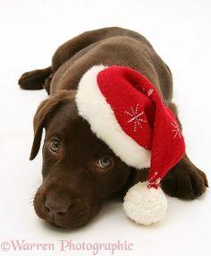 Adorable Little Christmas Chocolate Labrador Retriever Puppy - Aww!