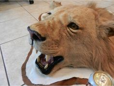 Vintage Lion rug, SUITABLE FOR Giving your cat an inferiority complex.