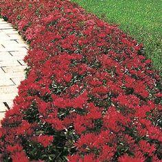 "$4.99 - Red Creeping Sedum Perennial Height: 3-4"" Zones: 3 to 9 Sun Exposure: Full sun to part shade"