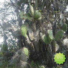 #Higos #Cactus