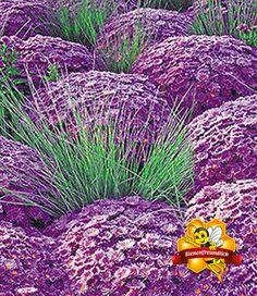 Kugelaster 'Violett' & Ziergras 'Azurit®'