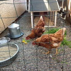 #tbt to Nov 13' when our first chickens Lucy & Ethel just started laying eggs, back when they were the only chickens we had, no ducks either and not even one raised bed in the garden. I can't believe all that has happened in just 2 1/2 years... Breaks my heart they are no longer with us, they were such good chickens! I miss them both so dearly! They are forever resting peacefully in our garden ❤️❤️