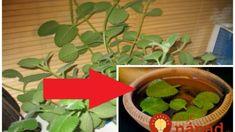 Mali sme ju len na okrasu, o tomto účinku sme netušili: Položte večer pár lístkov vedľa vankúša a ráno ste ako vymenení! Jena, Korn, Herbs, Plants, Gardening, Garten, Herb, Flora, Plant