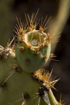 PHP_1441  Prickly Pear Tucson Mountian Park www.phawkinsphoto.com Peter Hawkins©2014