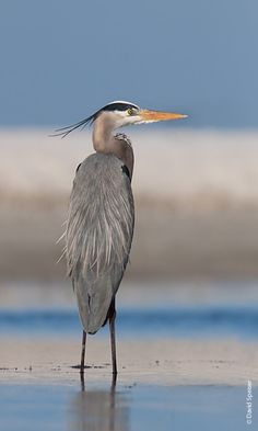 great blue heron pictures | Great-blue Heron my color palate.