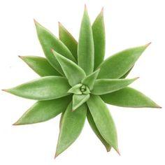Echeveria agavoides 'Martin's Hybrid'