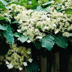 Climbing hydrangea Hydrangea petiolaris A full-grown climbing hydrangea in bloom can take your breath away. This big vine produces large clusters of white flowers held against rich, dark green foliage. Hydrangea Petiolaris, Hortensia Hydrangea, Hydrangea Shade, Hydrangeas, Hydrangea Plant, Climbing Hydrangea, Climbing Flowers, Climbing Vines, Clematis