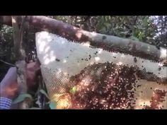 เทคนิค- วิธีการ ตีผึ้งหลวงรังใหญ่ น้ำหวานเยอะมาก  Bee
