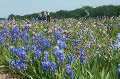 iris | Every year Woottens of Wenhaston (in Suffolk) open their Iris Fields ...