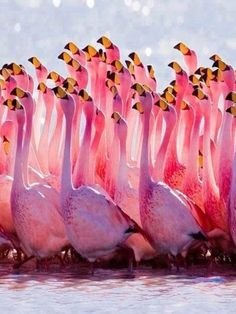 a group of flamingos is called a flamboyance! i knew i loved flamingos for a reason and not just because they are cool pink birds. Pretty Birds, Love Birds, Beautiful Birds, Animals Beautiful, Cute Animals, Pink Animals, Funny Animals, Beautiful Pictures, Funny Birds