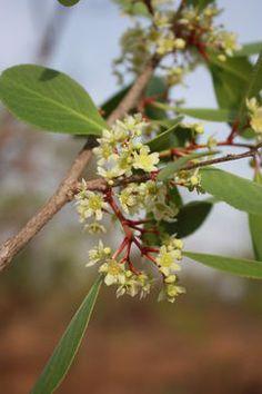 Maytenus/Gymnosporia Senegalensis              Confetti Tree         Bloupendoring          3-5 m  (9)            S A no 402