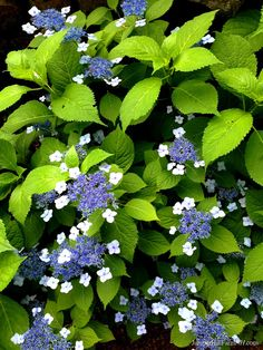 Hydrangea serrata 'Blue Billow' Hydrangea Paniculata, Hortensia Hydrangea, Hydrangea Garden, Blue Hydrangea, Hydrangea Landscaping, Very Beautiful Flowers, Exotic Flowers, Love Flowers, Beautiful Gardens
