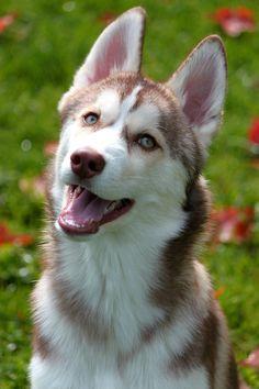 Husky Puppy.  Aww...my grandma had one like this.  Her name was Princess.