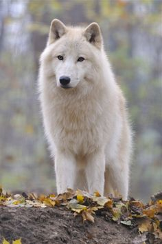 All Creatures Great and Small: WOLVES