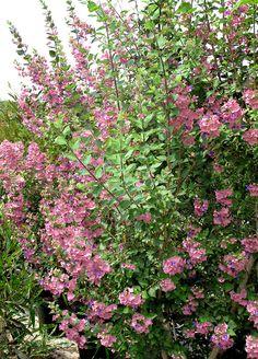 שיחים | משפחות צמחים | שגיא